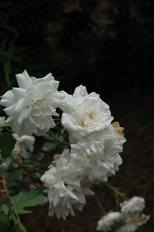 sea foam rose rosa 39 sea foam 39 in mokena tinley orland. Black Bedroom Furniture Sets. Home Design Ideas
