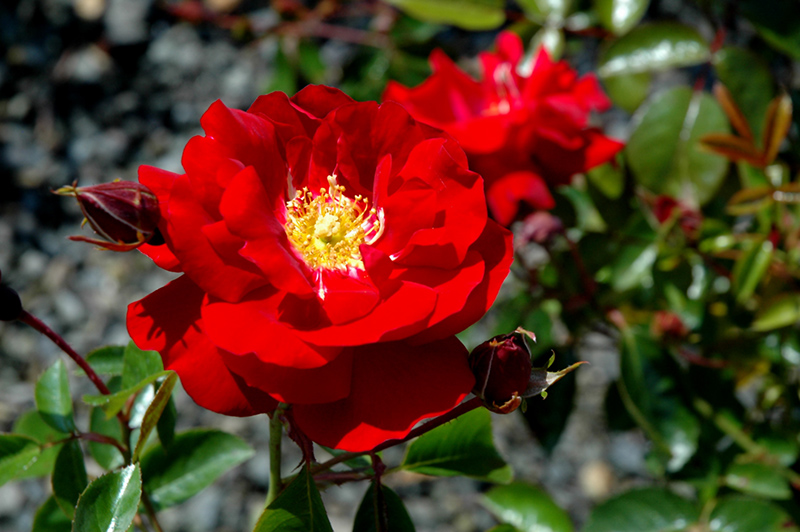 Red Ribbons Rose Rosa Red Ribbons In Mokena Tinley Orland Park