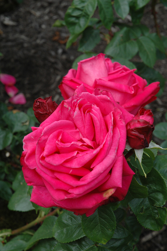 Miss All American Beauty Rose Rosa 39 Miss All American Beauty 39 In Mokena Tinley Orland Park