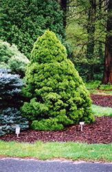 Dwarf Alberta Spruce (Picea glauca 'Conica') at Jim Melka Landscaping & Garden Center