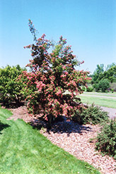 Crimson Cloud English Hawthorn (Crataegus laevigata 'Superba') at Jim Melka Landscaping & Garden Center