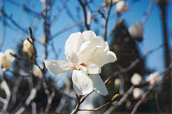 Merrill Magnolia (Magnolia x loebneri 'Merrill') at Jim Melka Landscaping & Garden Center