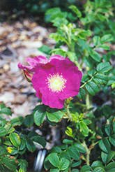 Frau Dagmar Hartopp Rose (Rosa 'Frau Dagmar Hartopp') at Jim Melka Landscaping & Garden Center