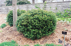 Brown's Yew (Taxus x media 'Brownii') at Jim Melka Landscaping & Garden Center