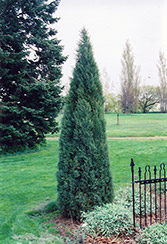 Medora Juniper (Juniperus scopulorum 'Medora') at Jim Melka Landscaping & Garden Center