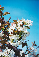 Bing Cherry (Prunus avium 'Bing') at Jim Melka Landscaping & Garden Center