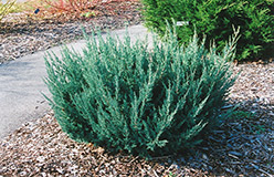 Maney Juniper (Juniperus chinensis 'Maney') at Jim Melka Landscaping & Garden Center