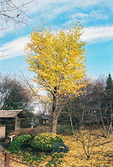 Ginkgo (Ginkgo biloba) at Jim Melka Landscaping & Garden Center