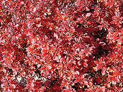Pygmy Ruby Barberry (Berberis thunbergii 'Pygruzam') at Jim Melka Landscaping & Garden Center