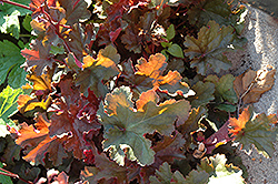 Chocolate Ruffles Coral Bells (Heuchera 'Chocolate Ruffles') at Jim Melka Landscaping & Garden Center
