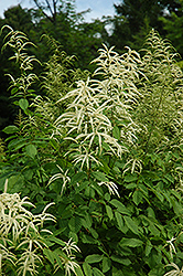 Goatsbeard (Aruncus dioicus) at Jim Melka Landscaping & Garden Center