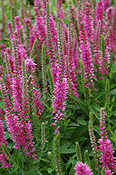 Red Fox Speedwell (Veronica spicata 'Red Fox') at Jim Melka Landscaping & Garden Center