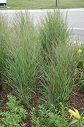 Shenandoah Reed Switch Grass (Panicum virgatum 'Shenandoah') at Jim Melka Landscaping & Garden Center