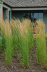 Karl Foerster Reed Grass (Calamagrostis x acutiflora 'Karl Foerster') at Jim Melka Landscaping & Garden Center