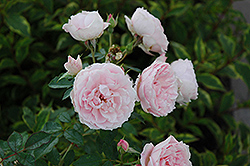 Morden Blush Rose (Rosa 'Morden Blush') at Jim Melka Landscaping & Garden Center