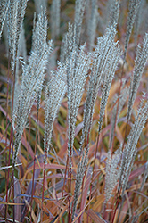 Flame Grass (Miscanthus sinensis 'Purpurascens') at Jim Melka Landscaping & Garden Center