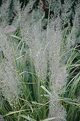 Korean Reed Grass (Calamagrostis brachytricha) at Jim Melka Landscaping & Garden Center