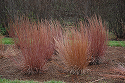 Blue Heaven Bluestem (Schizachyrium scoparium 'Blue Heaven') at Jim Melka Landscaping & Garden Center