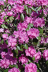 P.J.M. Rhododendron (Rhododendron 'P.J.M.') at Jim Melka Landscaping & Garden Center