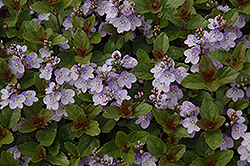 Waterperry Blue Speedwell (Veronica 'Waterperry Blue') at Jim Melka Landscaping & Garden Center