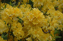 Lemon Lights Azalea (Rhododendron 'Lemon Lights') at Jim Melka Landscaping & Garden Center
