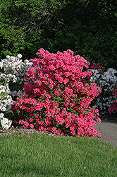 Rosy Lights Azalea (Rhododendron 'Rosy Lights') at Jim Melka Landscaping & Garden Center