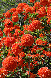 Mandarin Lights Azalea (Rhododendron 'Mandarin Lights') at Jim Melka Landscaping & Garden Center