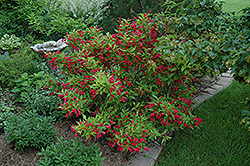 Red Prince Weigela (Weigela florida 'Red Prince') at Jim Melka Landscaping & Garden Center