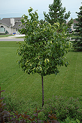 Golden Eclipse Japanese Tree Lilac (Syringa reticulata 'Golden Eclipse') at Jim Melka Landscaping & Garden Center