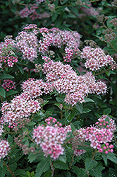 Daphne Spirea (Spiraea japonica 'var. alpina') at Jim Melka Landscaping & Garden Center