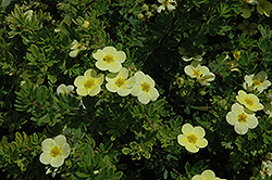Katherine Dykes Potentilla (Potentilla fruticosa 'Katherine Dykes') at Jim Melka Landscaping & Garden Center