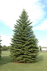 Colorado Spruce (Picea pungens) at Jim Melka Landscaping & Garden Center