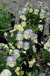 Etain Pansy (Viola 'Etain') at Jim Melka Landscaping & Garden Center