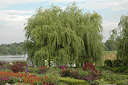 Golden Weeping Willow (Salix alba 'Tristis') at Jim Melka Landscaping & Garden Center