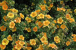 Mango Tango Potentilla (Potentilla fruticosa 'Mango Tango') at Jim Melka Landscaping & Garden Center