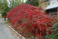 Staghorn Sumac (Rhus typhina) at Jim Melka Landscaping & Garden Center