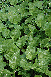 Royal Standard Hosta (Hosta 'Royal Standard') at Jim Melka Landscaping & Garden Center