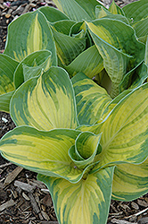 Great Expectations Hosta (Hosta 'Great Expectations') at Jim Melka Landscaping & Garden Center