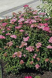 Crispa Spirea (Spiraea x bumalda 'Crispa') at Jim Melka Landscaping & Garden Center