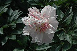 Do Tell Peony (Paeonia 'Do Tell') at Jim Melka Landscaping & Garden Center