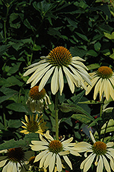 Big Sky Sunrise Coneflower (Echinacea 'Big Sky Sunrise') at Jim Melka Landscaping & Garden Center