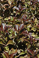 Dark Horse Weigela (Weigela florida 'Dark Horse') at Jim Melka Landscaping & Garden Center