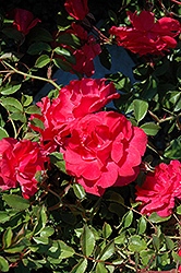 Electric Blanket Rose (Rosa 'Electric Blanket') at Jim Melka Landscaping & Garden Center