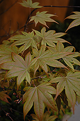 Purple-Leaf Japanese Maple (Acer palmatum 'Atropurpureum') at Jim Melka Landscaping & Garden Center