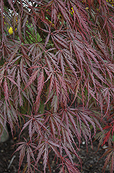Tamukeyama Japanese Maple (Acer palmatum 'Tamukeyama') at Jim Melka Landscaping & Garden Center