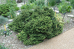 Pumila Norway Spruce (Picea abies 'Pumila') at Jim Melka Landscaping & Garden Center