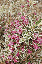 My Monet® Weigela (Weigela florida 'Verweig') at Jim Melka Landscaping & Garden Center