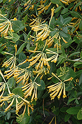 John Clayton Trumpet Honeysuckle (Lonicera sempervirens 'John Clayton') at Jim Melka Landscaping & Garden Center