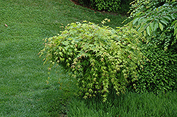 Beni Kawa Coral Bark Japanese Maple (Acer palmatum 'Beni Kawa') at Jim Melka Landscaping & Garden Center