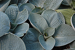 Love Pat Hosta (Hosta 'Love Pat') at Jim Melka Landscaping & Garden Center